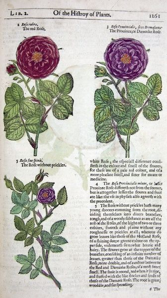 John Gerarde, 'The Herbal', [colophon: Edm. Bollifant for Bonham and John Norton], copy with contempoary hand-colouring, 1633, The Shakespeare Centre Library and Archive